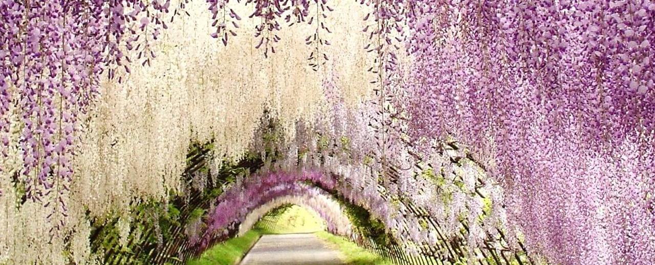 Voyage Japon Tunnel Glycines Booktrip